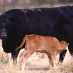 Learn about the Tri-County Steer Carcass Futurity Program in Boonville