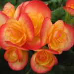 Begonia named 2016's Flowering Annual