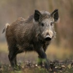 Missouri Conservation Commission moves toward prohibiting the hunting of feral hogs on MDC land