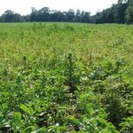 Palmer amaranth could  effect soybean yields, again