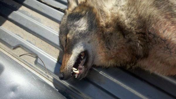 Hunter Shot Wolf, Not Coyote