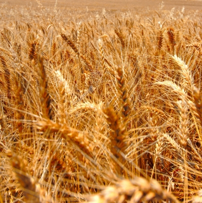 Extension Service says wheat disease hurting Missouri crops