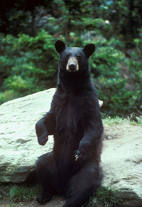 Missouri Black Bears Continue Population Growth
