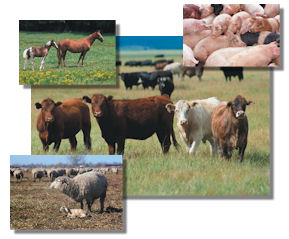 LivestockCollageFinal4x