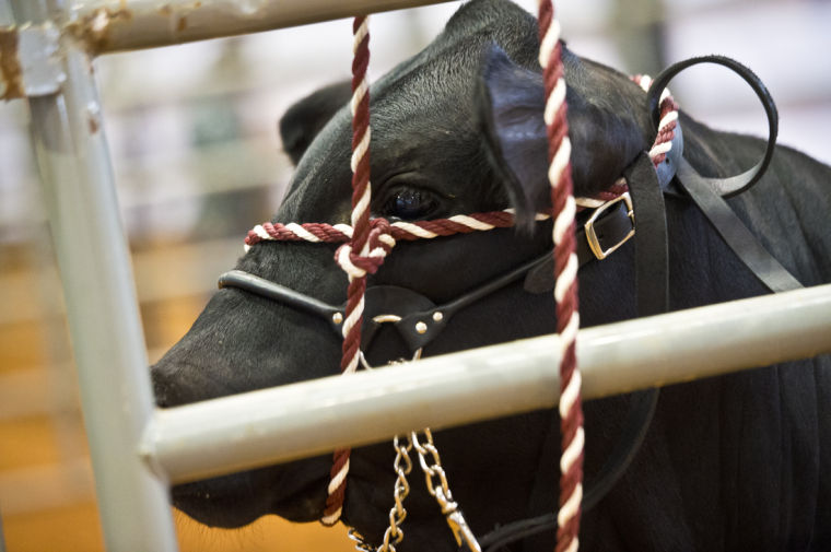 National effort launched to provide youth livestock auctions for multiple Midwest states