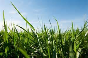 Novel Endophyte Tall Fescue Class Slated for Early April