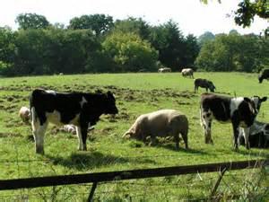 Livestock Markets, Sluggish Trade