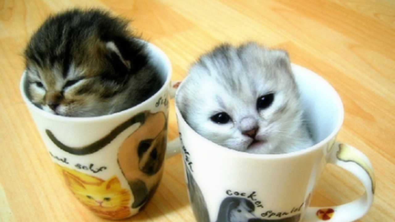 'Cat cafe' planned for St. Louis next year
