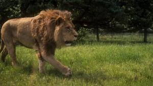 Lion roaming