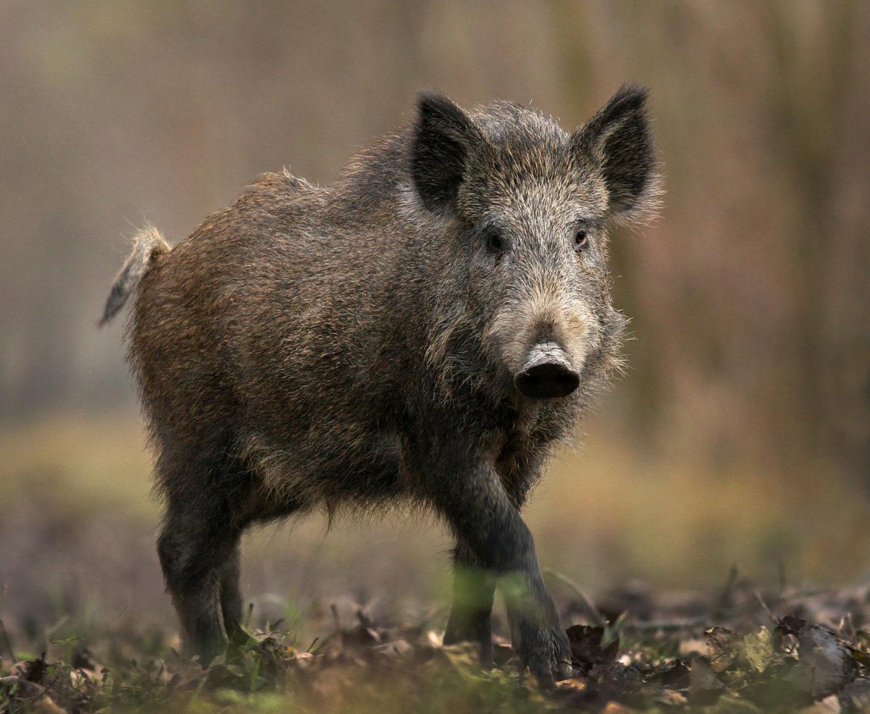 Lawmaker files legislation on feral hogs in Missouri