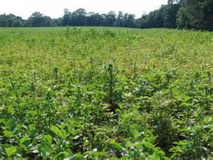 Palmer amaranth could  effect soybean yields, again