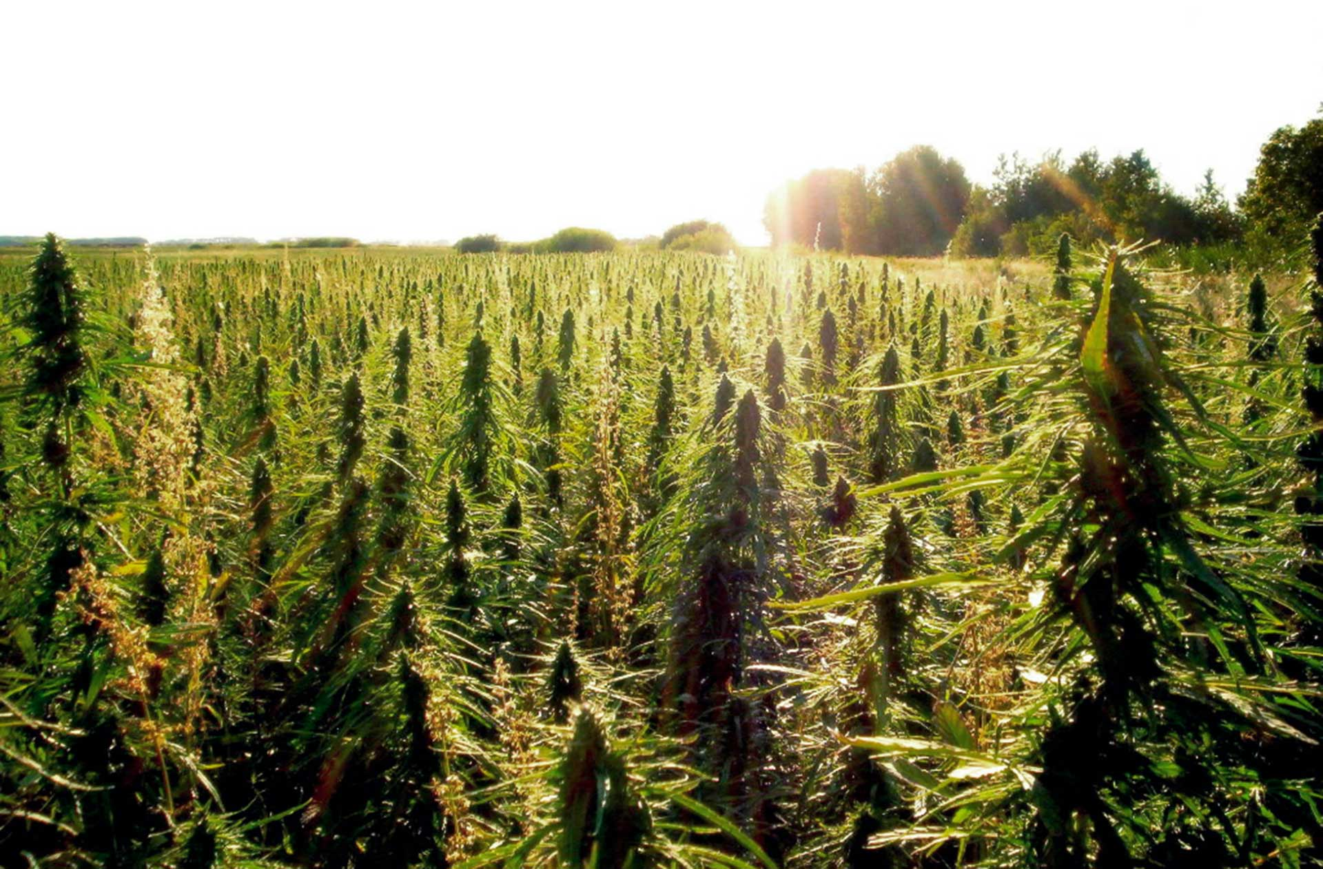Hemp: A new crop for Missouri farmers?