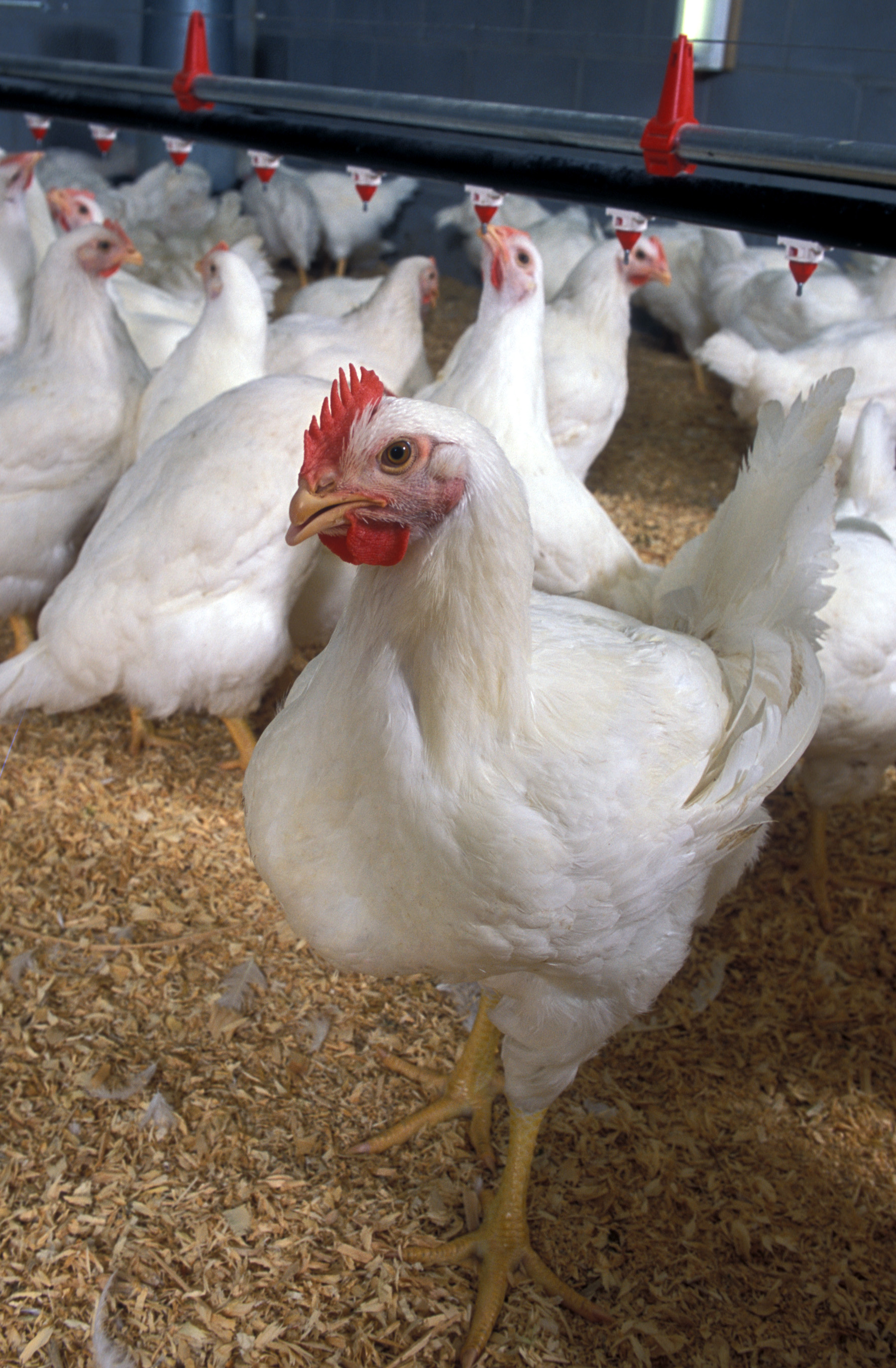 Mexico Lifts Poultry Ban Stemming from Avian Influenza