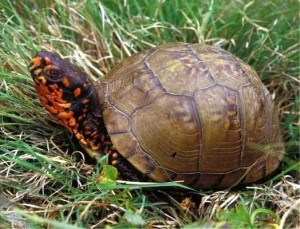 three-toed-box-turtle-10-28-11_crop