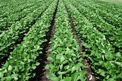 Soy acres gaining on corn acres