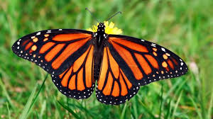 Monarch butterfly being added to Working Lands for Wildlife