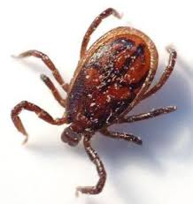 Fever ticks becoming a problem in Texas