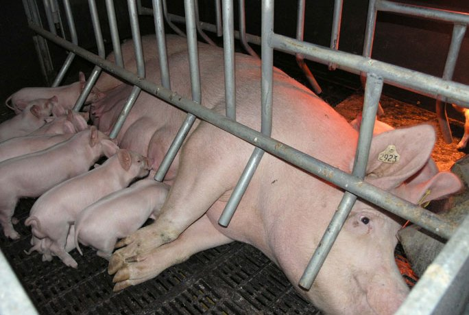 Proposed hog farrowing operation stalled