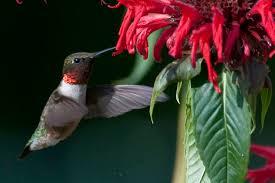 Return of the ruby-throated hummingbird