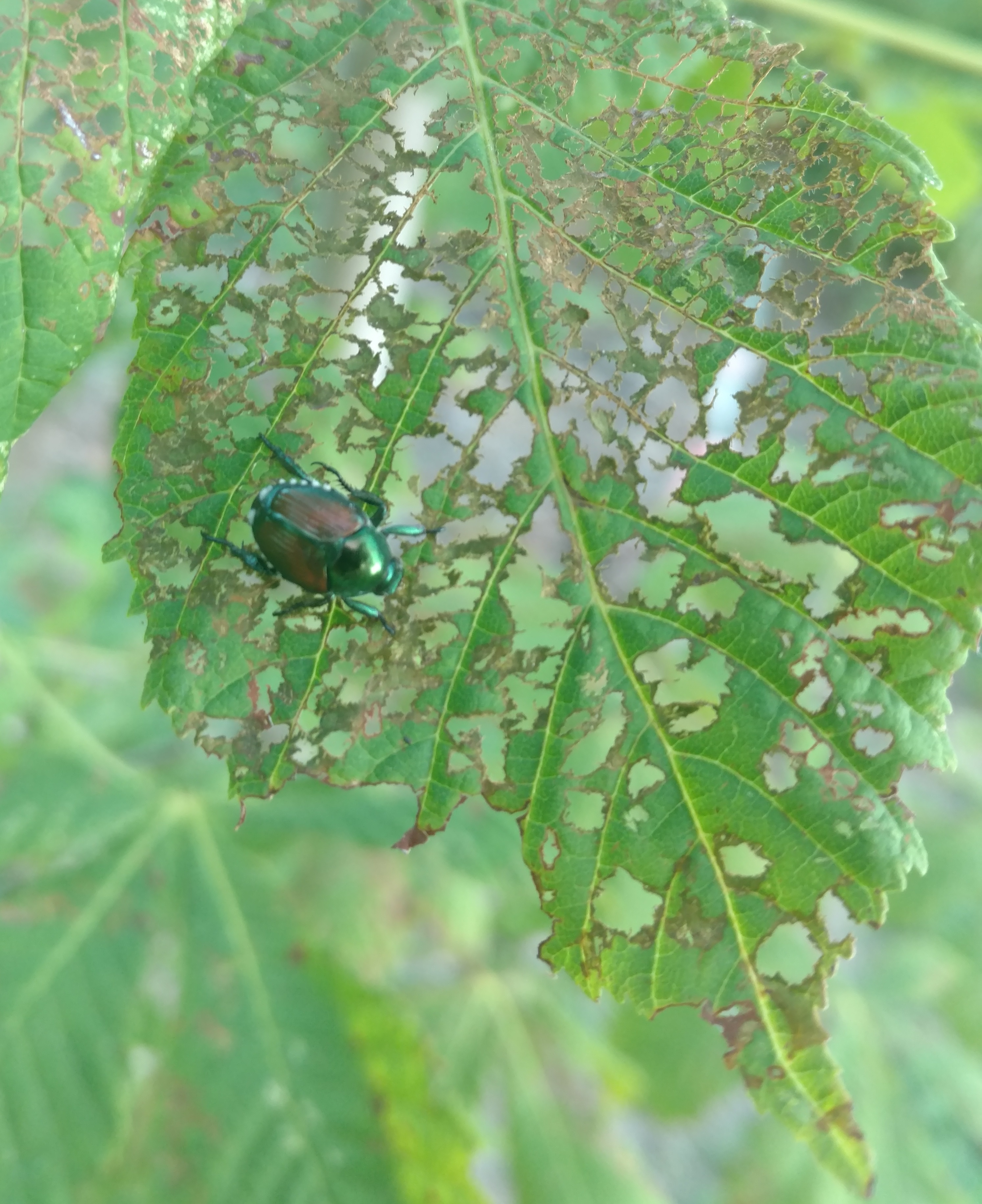 Assistant professor researching way to reduce crop damage from Japanese beetles
