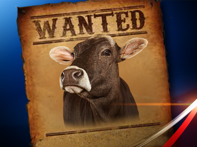 Cattle rustling reported in Carroll County: Sheriff's Office investigating reports of cattle theft