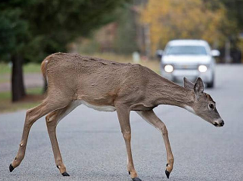 Scrape with deer leaves Holden driver with injuries