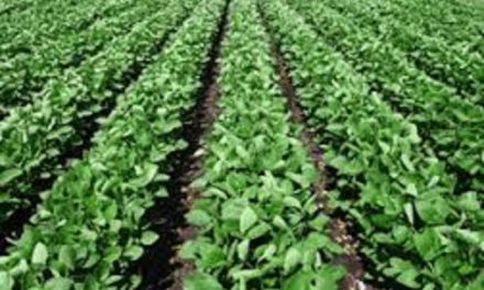 MU Extension suggests soybeans as cover crop option