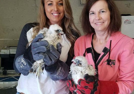 Peregrine Falcon chicks banded by MDC in Kansas City
