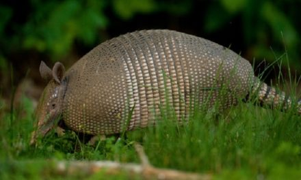 What to do about Missouri armadillos
