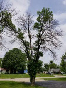 Ash tree infested with EAB. Courtesy USDA.