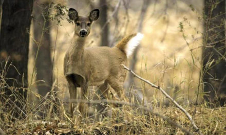 Missouri deer hunters nearly double last year's antlerless deer season