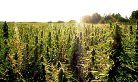 Industrial hemp as cattle feed? K-State researching possibilities