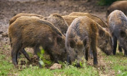 Feral hog policy change in store for MDC land