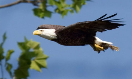 """MDC'S """"American raptor: the bald eagle"""" activities event"""