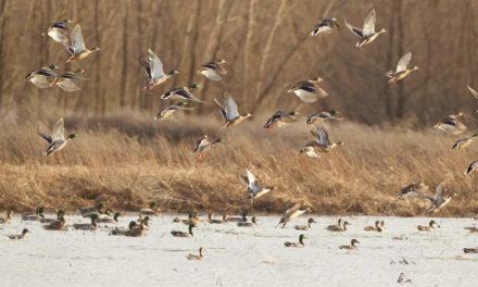 MDC to host waterfowl season workshop in Columbia