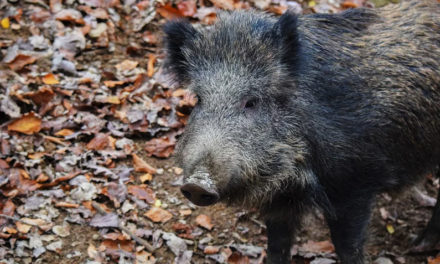 Plan to use feral hogs as food halted amid safety concerns