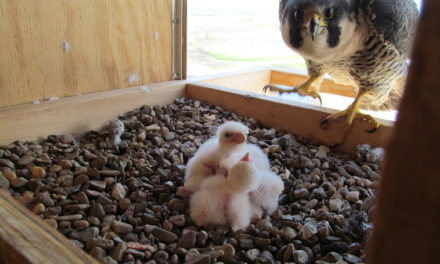 MDC says peregrine falcon nest in Kansas City now viewable online