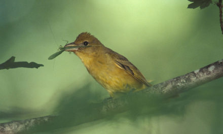 MDC says track summer birds near home for fun and learning