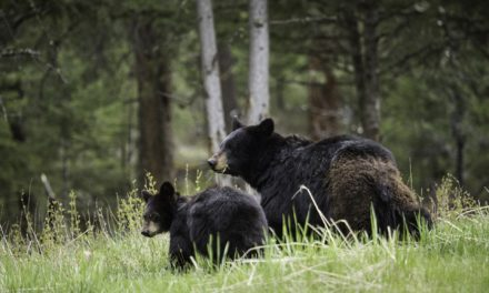 MDC wants public comments on proposed bear-hunting season