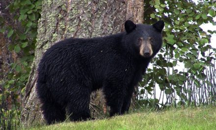 MDC asking for public comments on proposed bear-hunting season