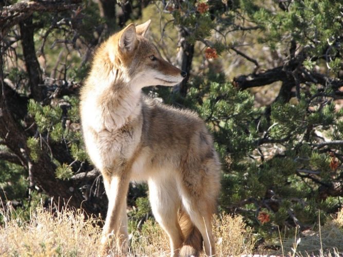 MDC considers regulation changes regarding coyote hunting and invasive species control