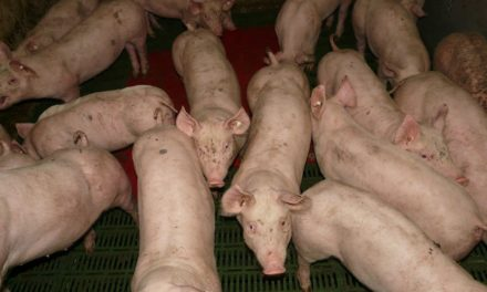 NEWSMAKER: Hog Farmers Losing Money on Every Hog They Sell