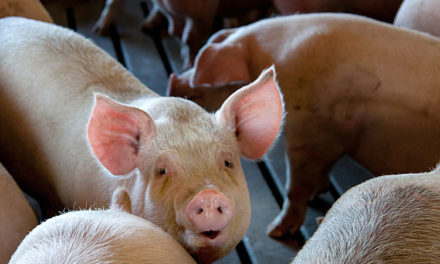 Missouri vet updates health requirements for swine at Missouri State Fair