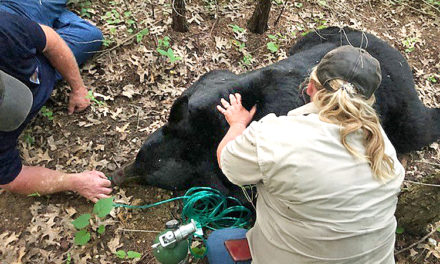 """Social media star """"Bruno the Bear"""" tranquilized and transported after Missouri spotting"""
