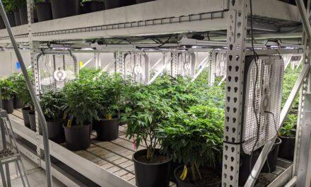 NEWSMAKER: Medical marijuana in Carrollton: Inside the small town's newest medicinal venture