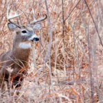 Apply for MDC managed deer hunts starting July 1