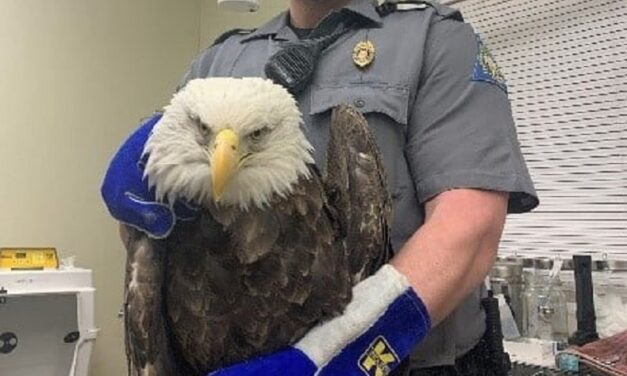 Bald eagle shot in Washington County, doesn't survive, MDC looking for clues