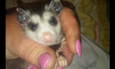 Richmond wildlife rescuer has a passion for possums