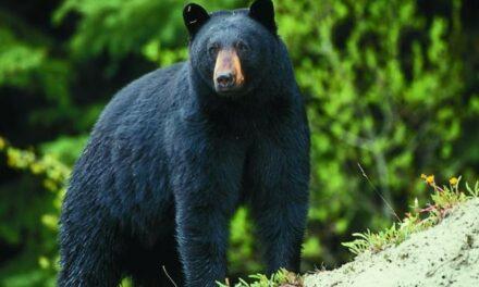 Bear sighting prompts jokes, caution in Ashland, Mo.