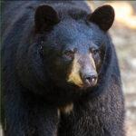 Bear sightings reported in Missouri